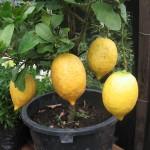 レモンは放っておくと・・・どんどん大きくなる!レモンの雑学